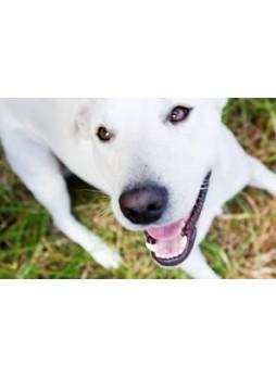 Labradorinnoutaja: rasituksensietokyvyn aleneminen ja lyyhistyminen (EIC)